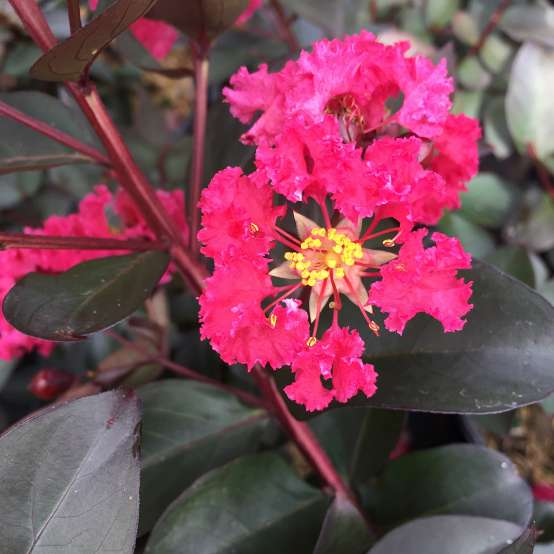 Close up of pink Double Dynamite Lagerstroemia bloom