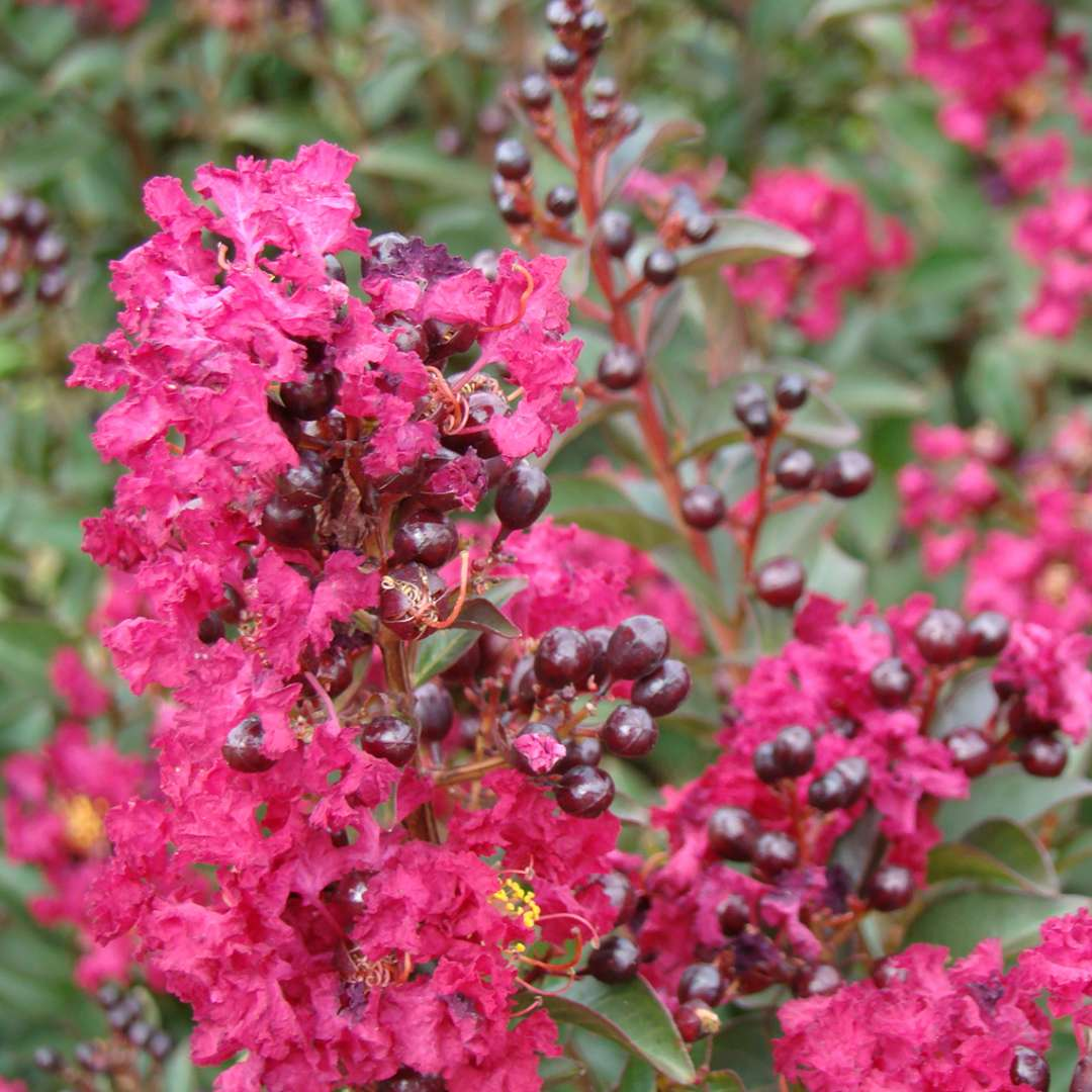 Close up of pink Double Feature Lagerstroemia blooms