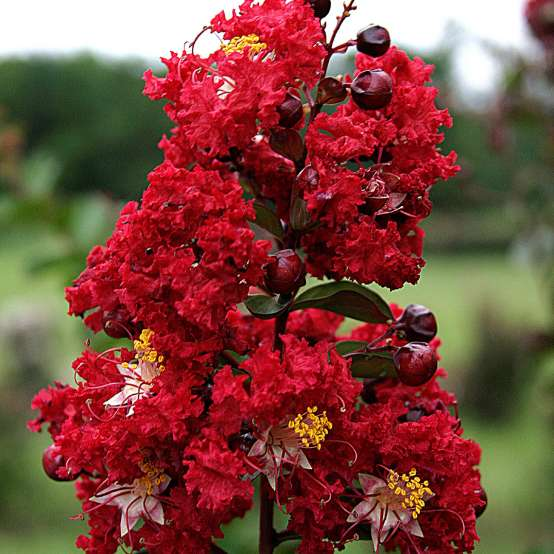 Close up of Dynamite Lagerstroemia bloom