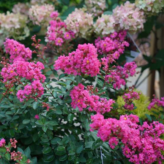 Infinitini Brite Pink Lagerstroemia vibrant pink blooms