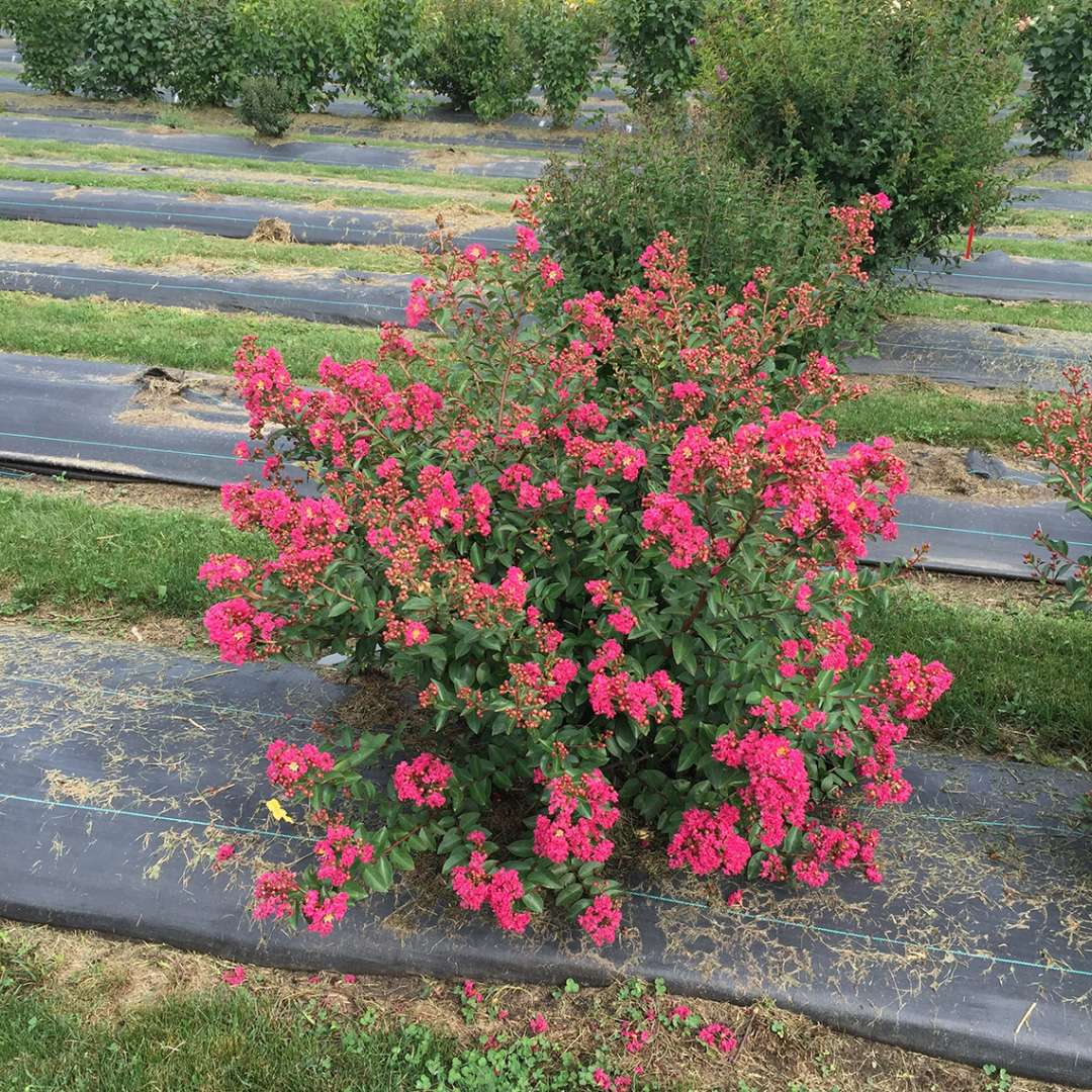 Infinitini Magenta Lagerstroemia blooming in trial field