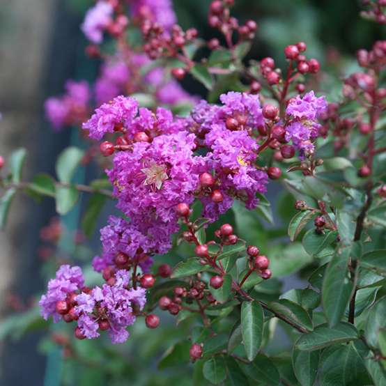 Close up of Infinitini Purple Lagerstroemia blooms and buds