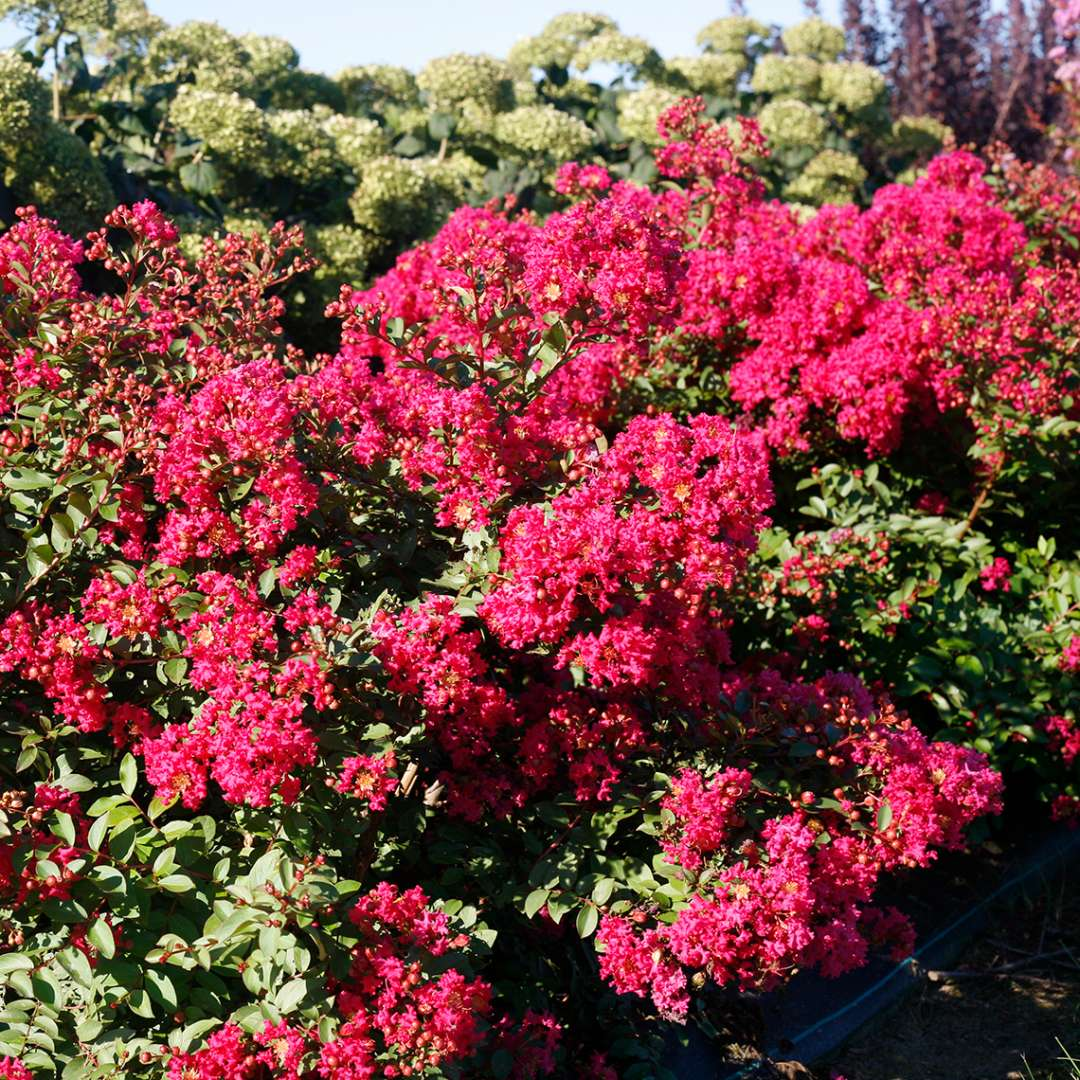 Heavy blooming Infinitini Watermelon Lagerstroemia with Lime Rickey Hydrangea
