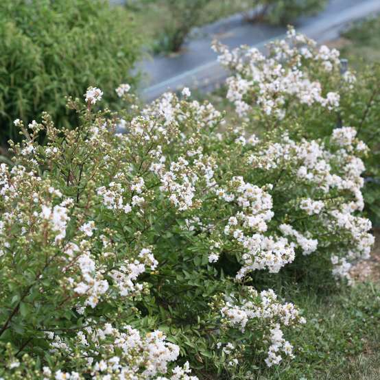 Heavy blooming Infinitini White Lagerstroemia in trial field