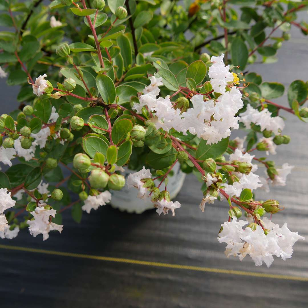 Close up of Infinitini White Lagerstroemia blooms