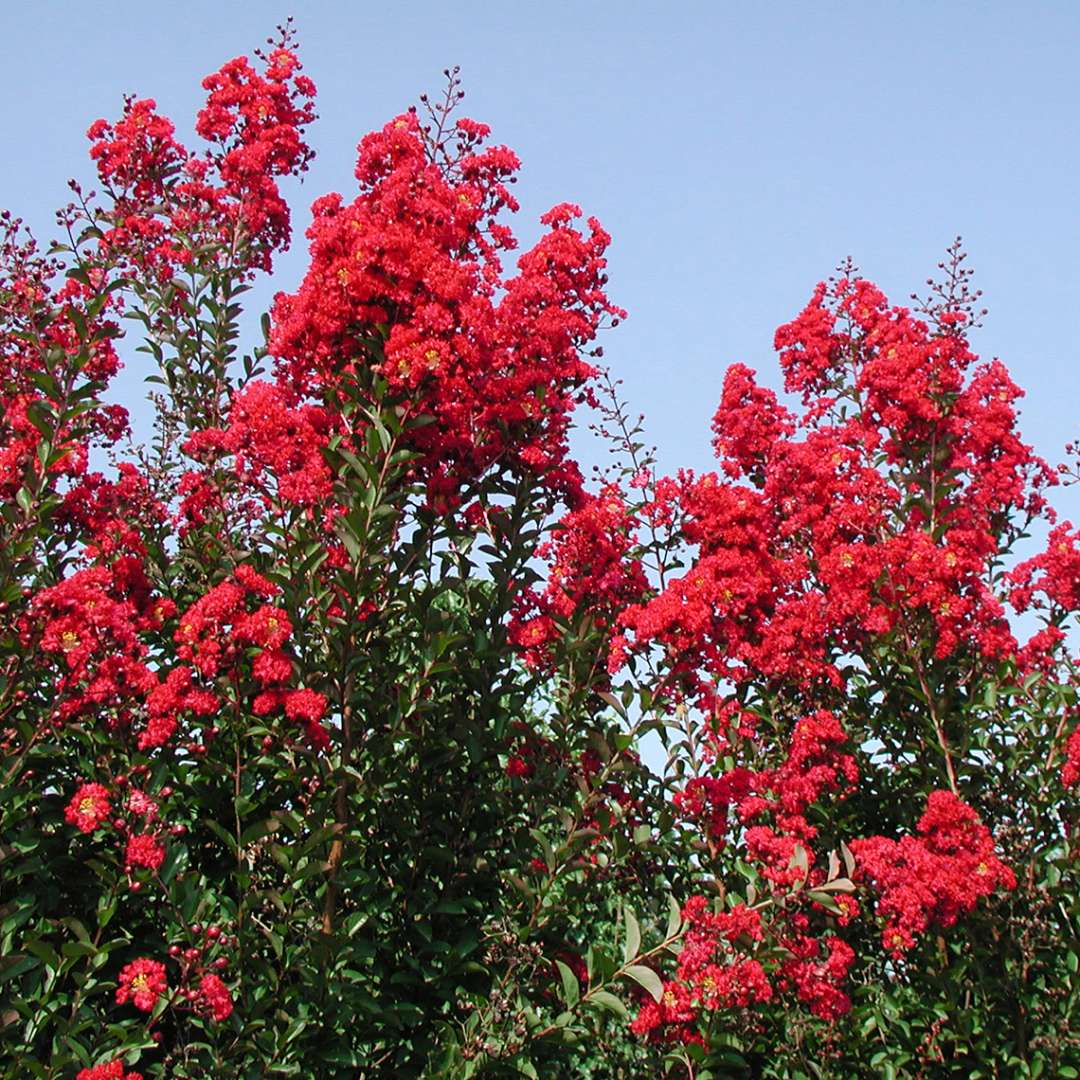 Heavy red bloom set of Red Rocket Lagerstroemia