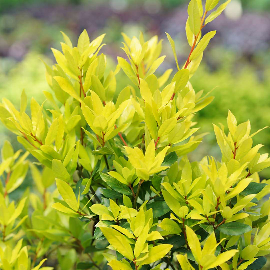 Bright lime foliage of Sicilian Sunshine Laurus in the landscape