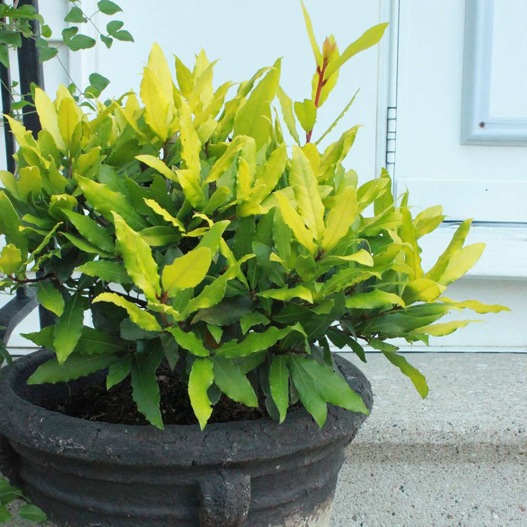 Sicilian Sunshine Laurus in a container