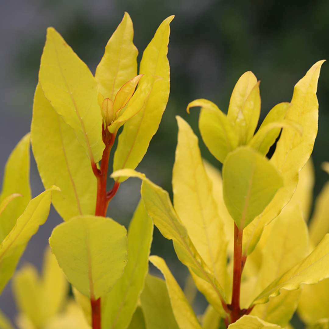 Close up of Sicilian Sunshine Laurus yellow foliage and orange stems