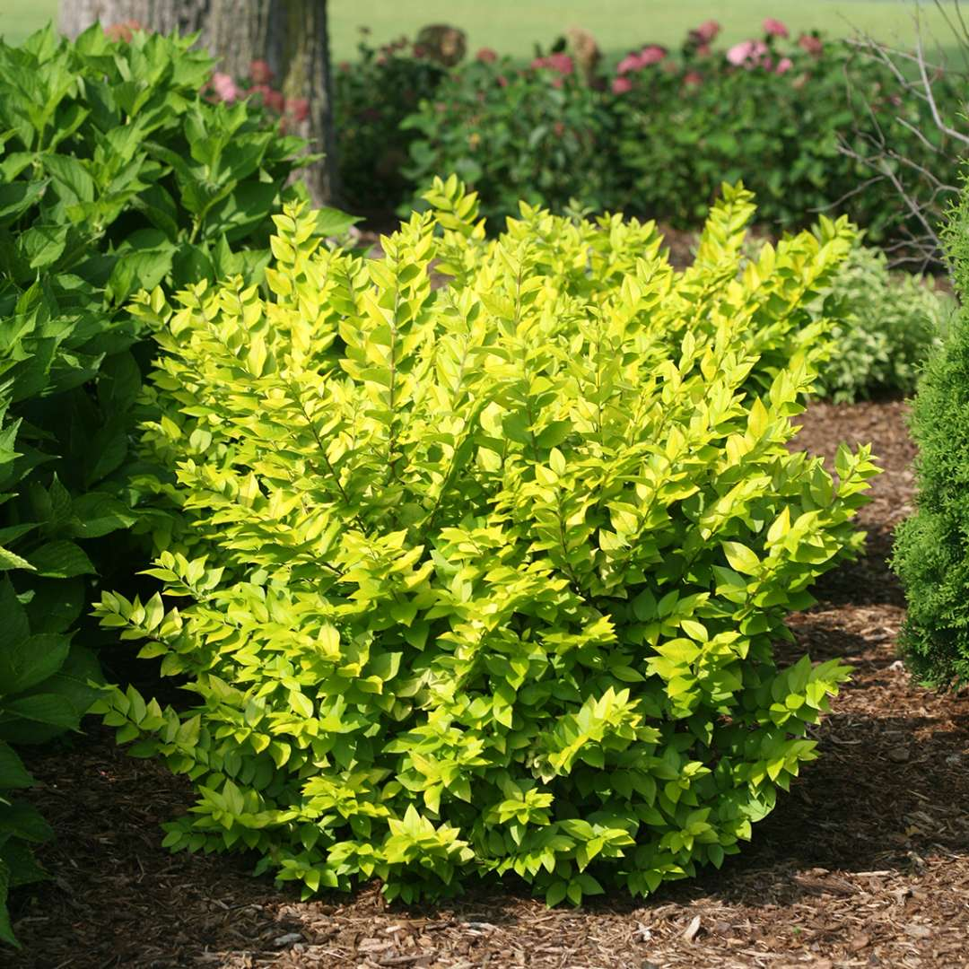 Golden Ticket Ligustrum lime foliage in the landscape
