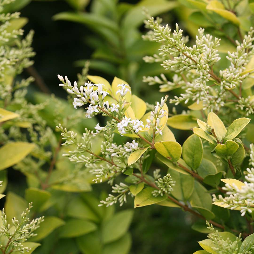 Close up of Golden Ticket Ligustrum white blooms with lime green foliage