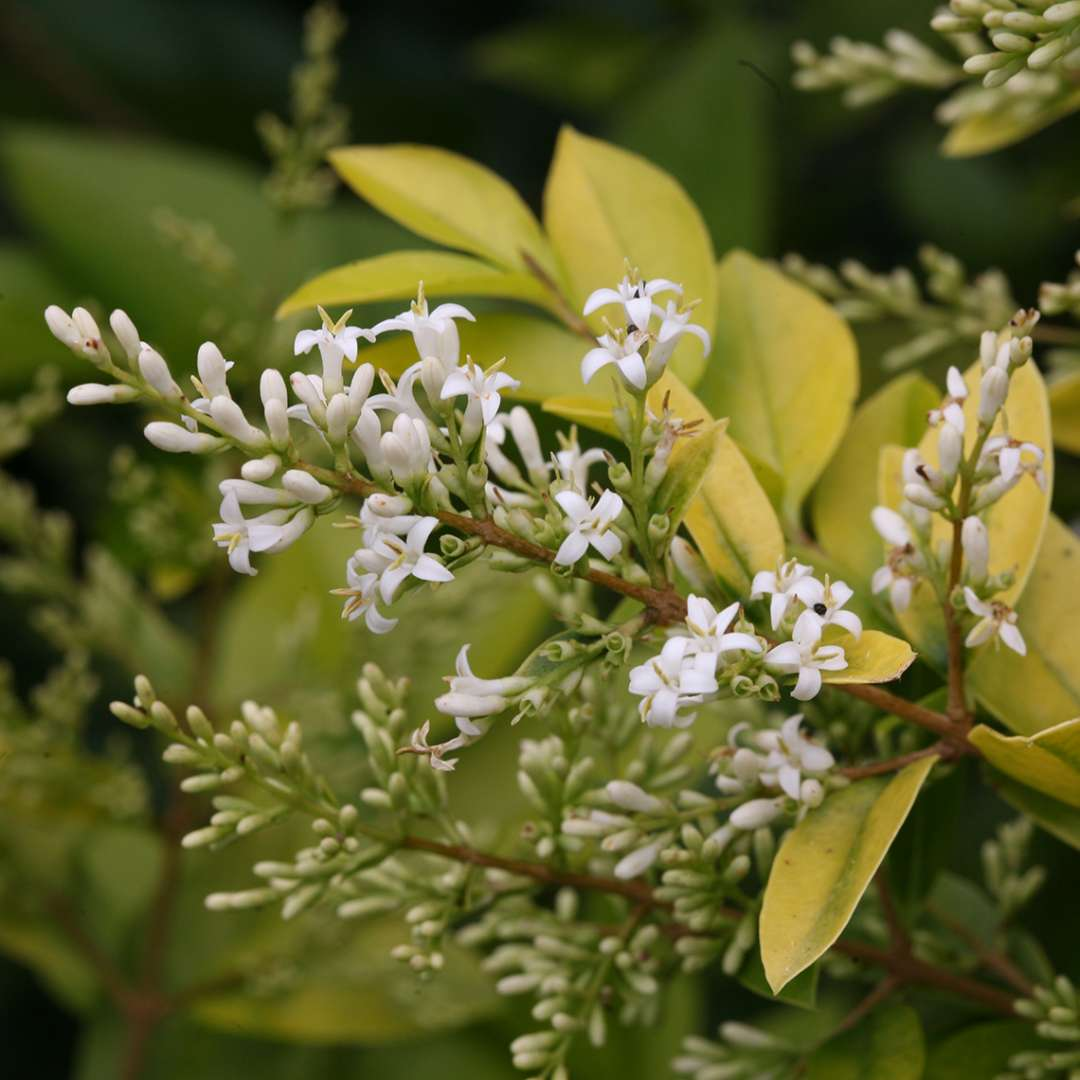Close up of Golden Ticket Ligustrum of white blooms