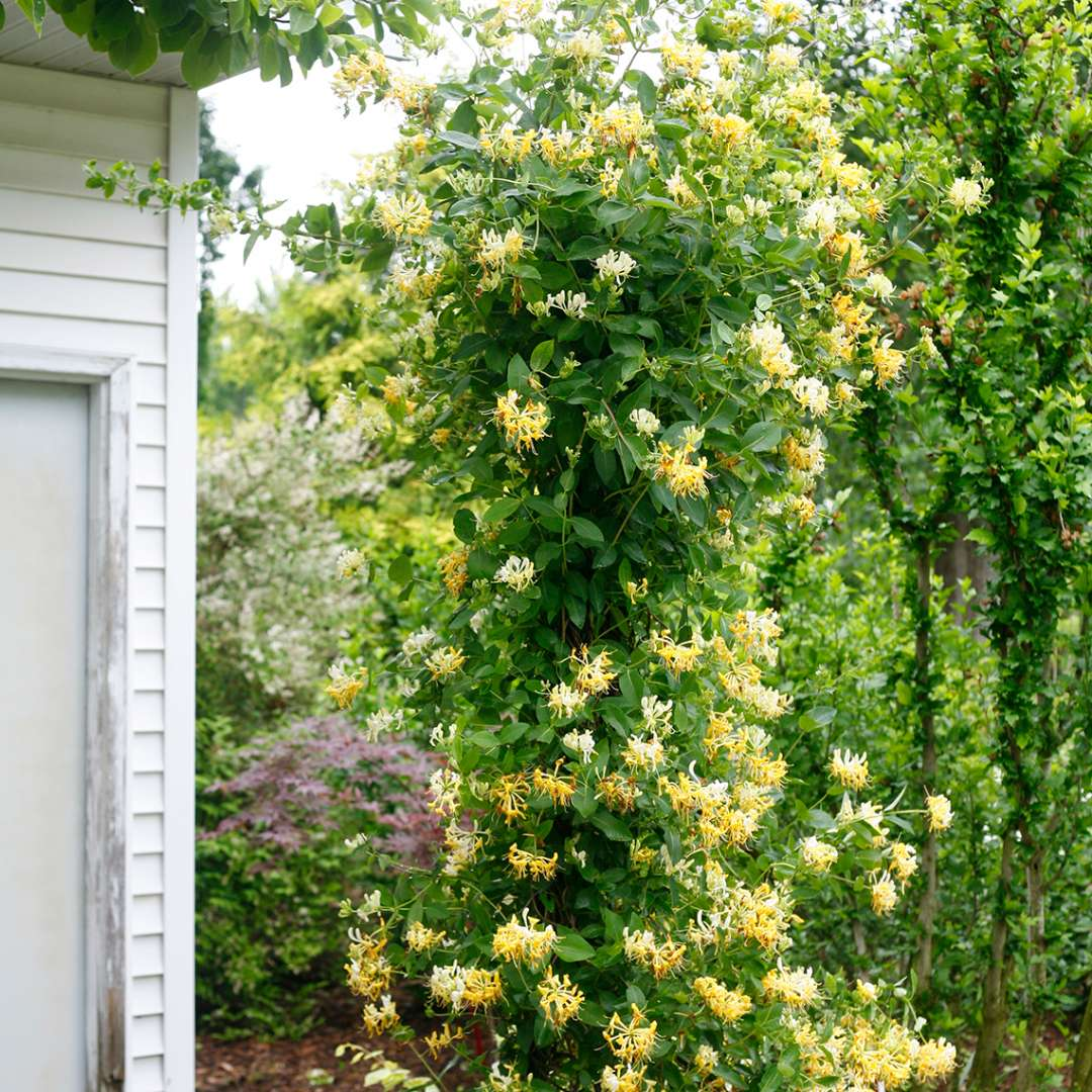 Scentsation Lonicera abundant blooms climbing up pole