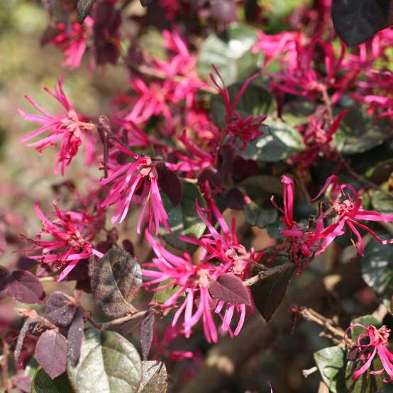 Close up of Jazz Hands Bold Loropetalum heavy bloom set
