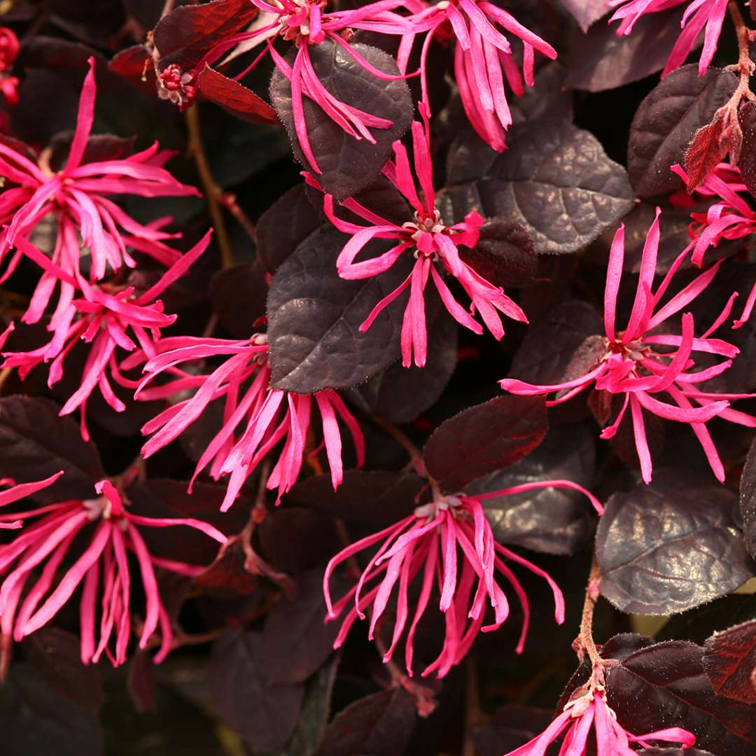 Close up of Jazz Hands Pink Loropetalum blooms