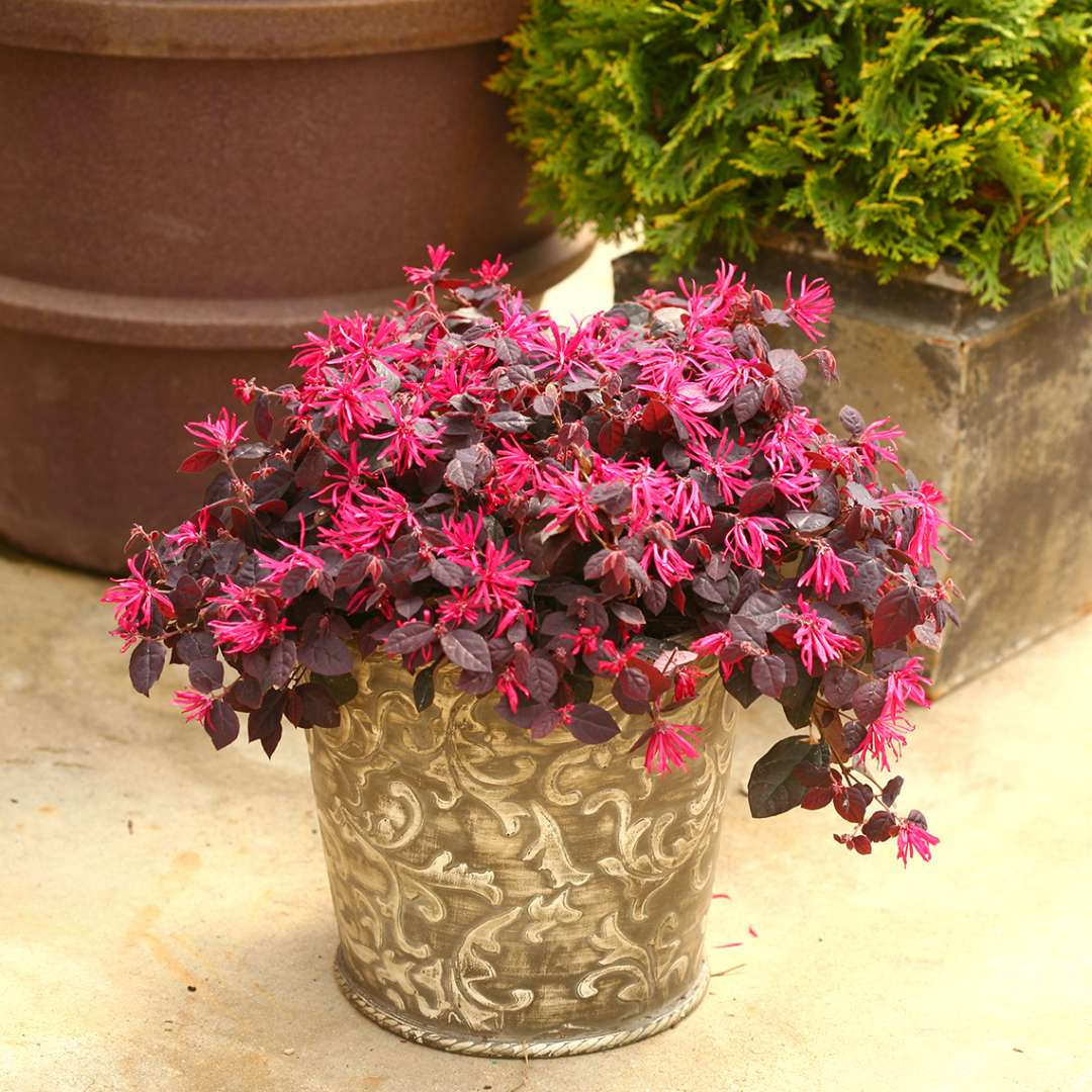 Jazz Hands Pink Loropetalum in container with blooms