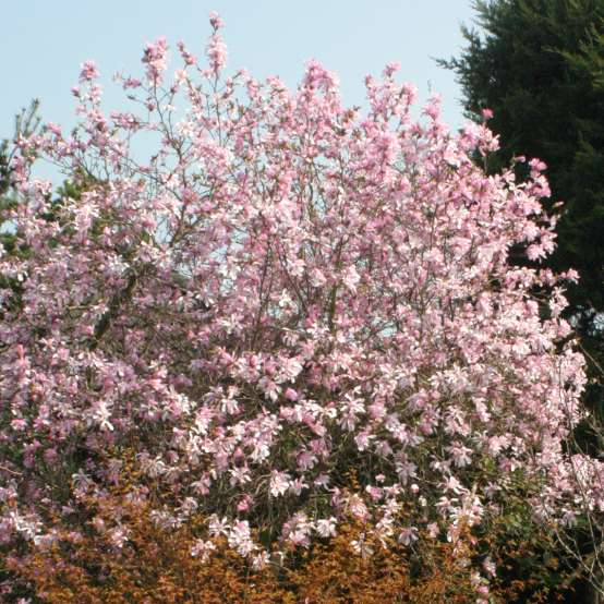 Leonard Messel Magnolia blooming heavily in the landscape