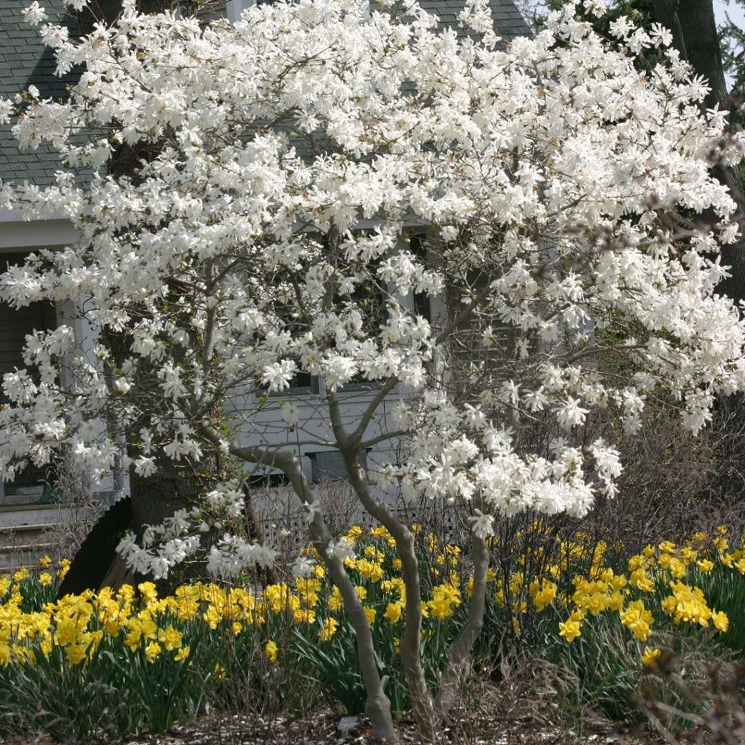 Royal Star Magnolia Spring Meadow Wholesale Liners Spring