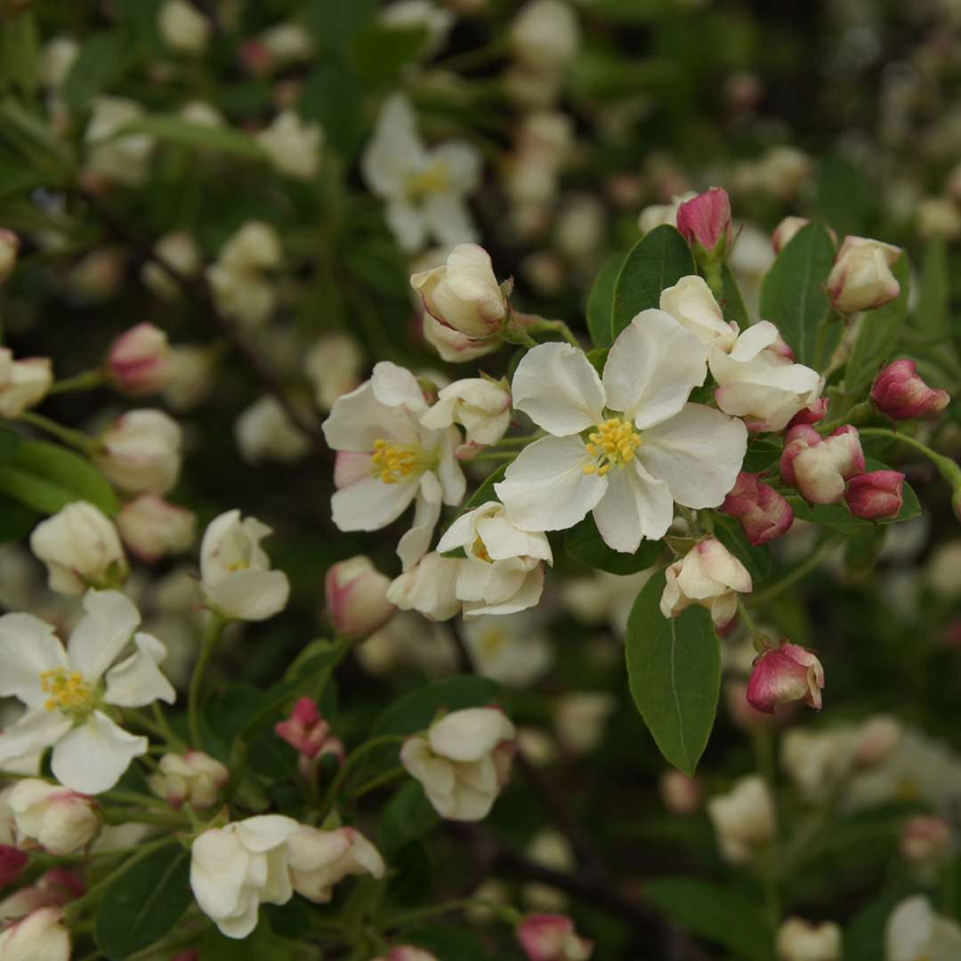 The white flowers of  Lollipop crabapple