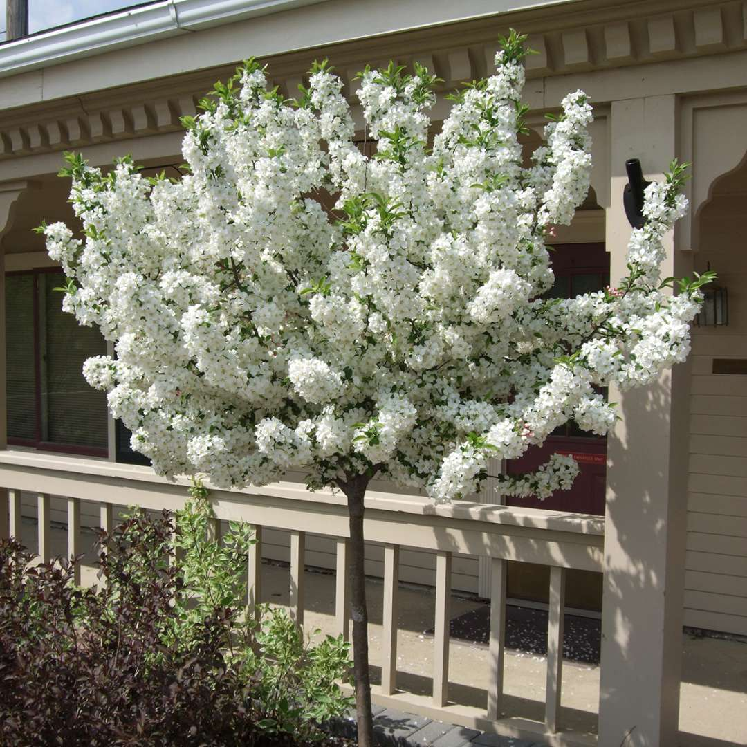 A beautiful young specimen of Lollipop crabapple in bloom