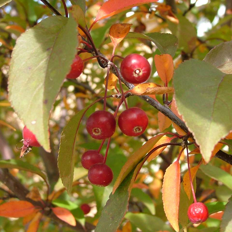 The attractive red fruits of Show Time crabapple