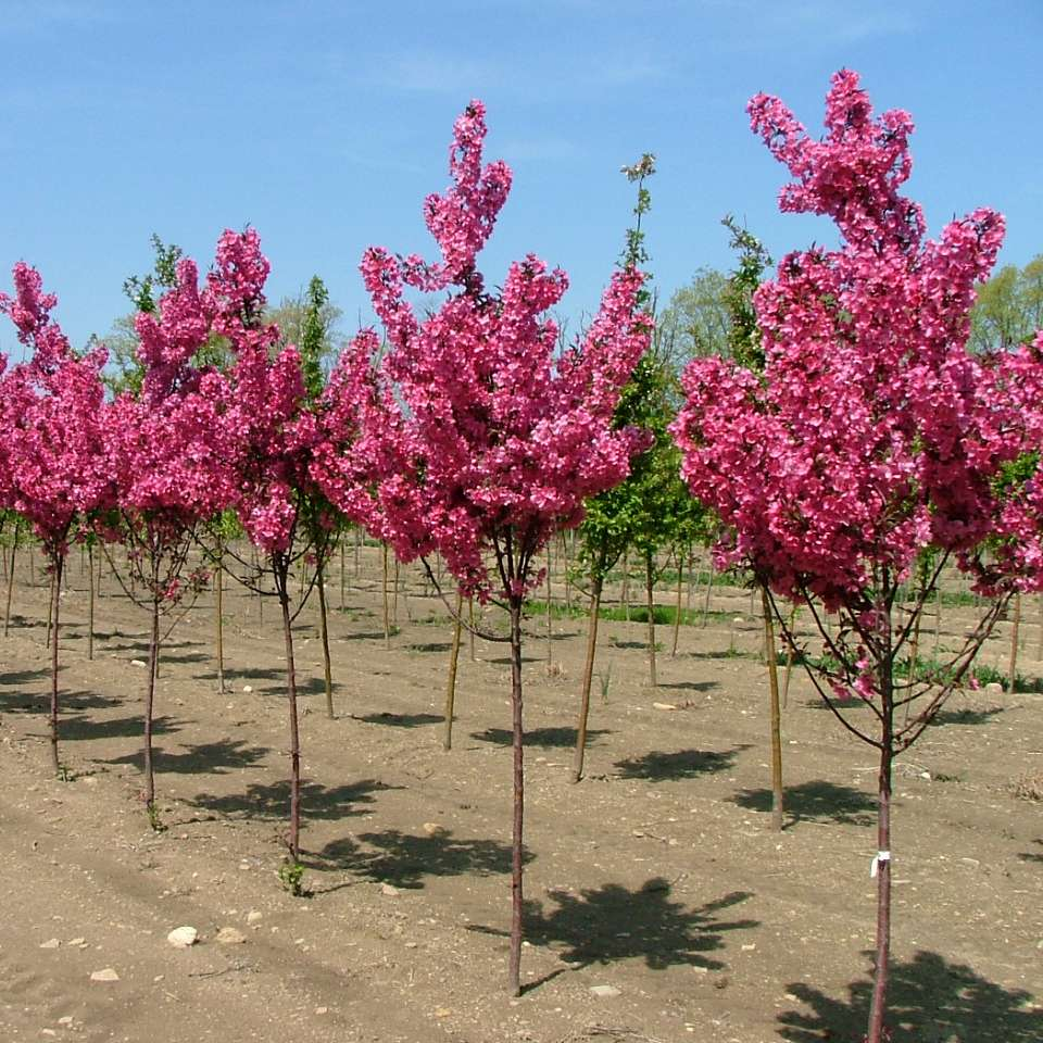 Show Time crabapple is a pink  blooming crabapple with a handsome rounded canopy