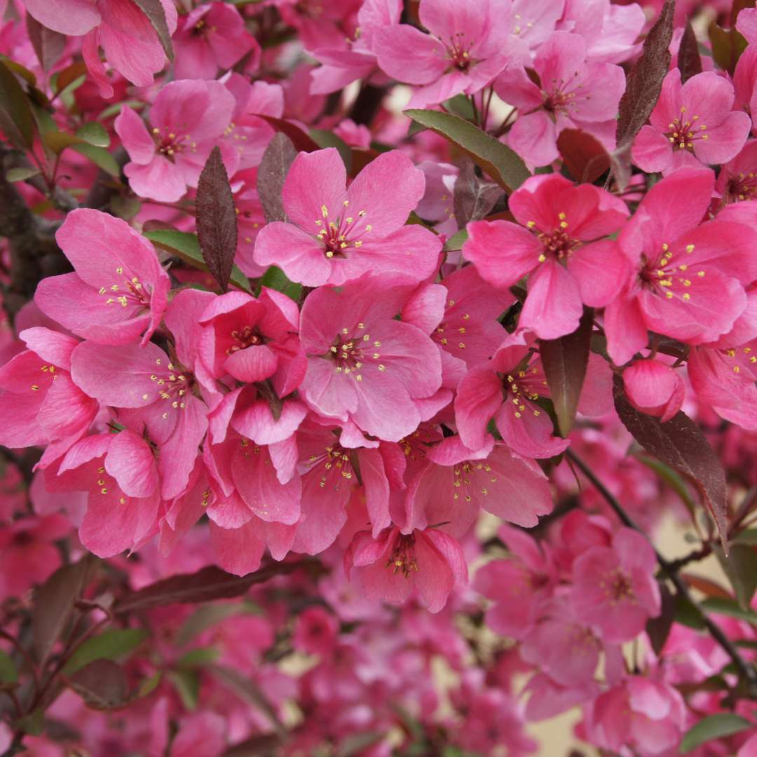 A close up view of the pink flowers of Show Time crabapple
