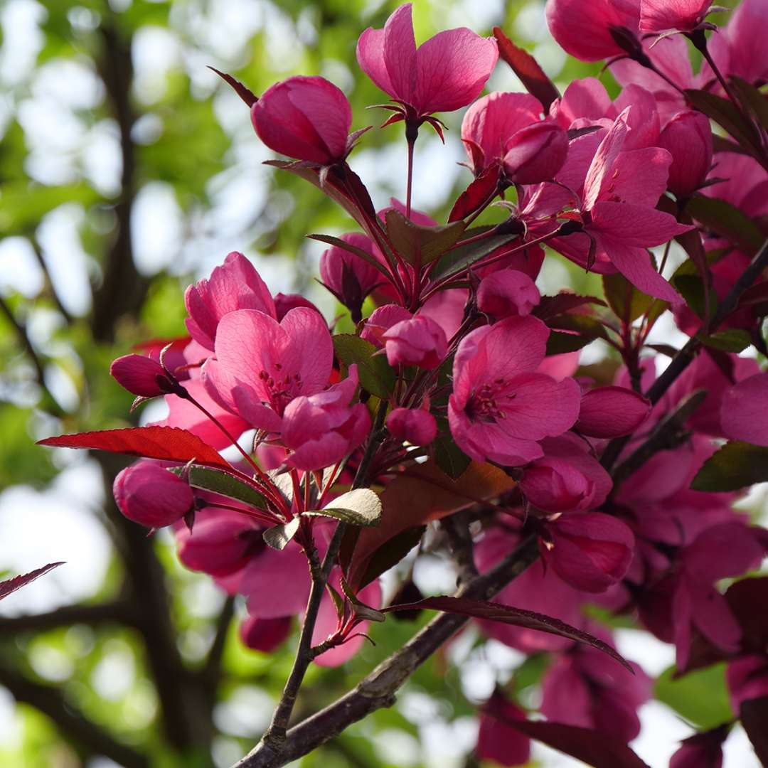 The lovely pink flowers of Show Time crabapple