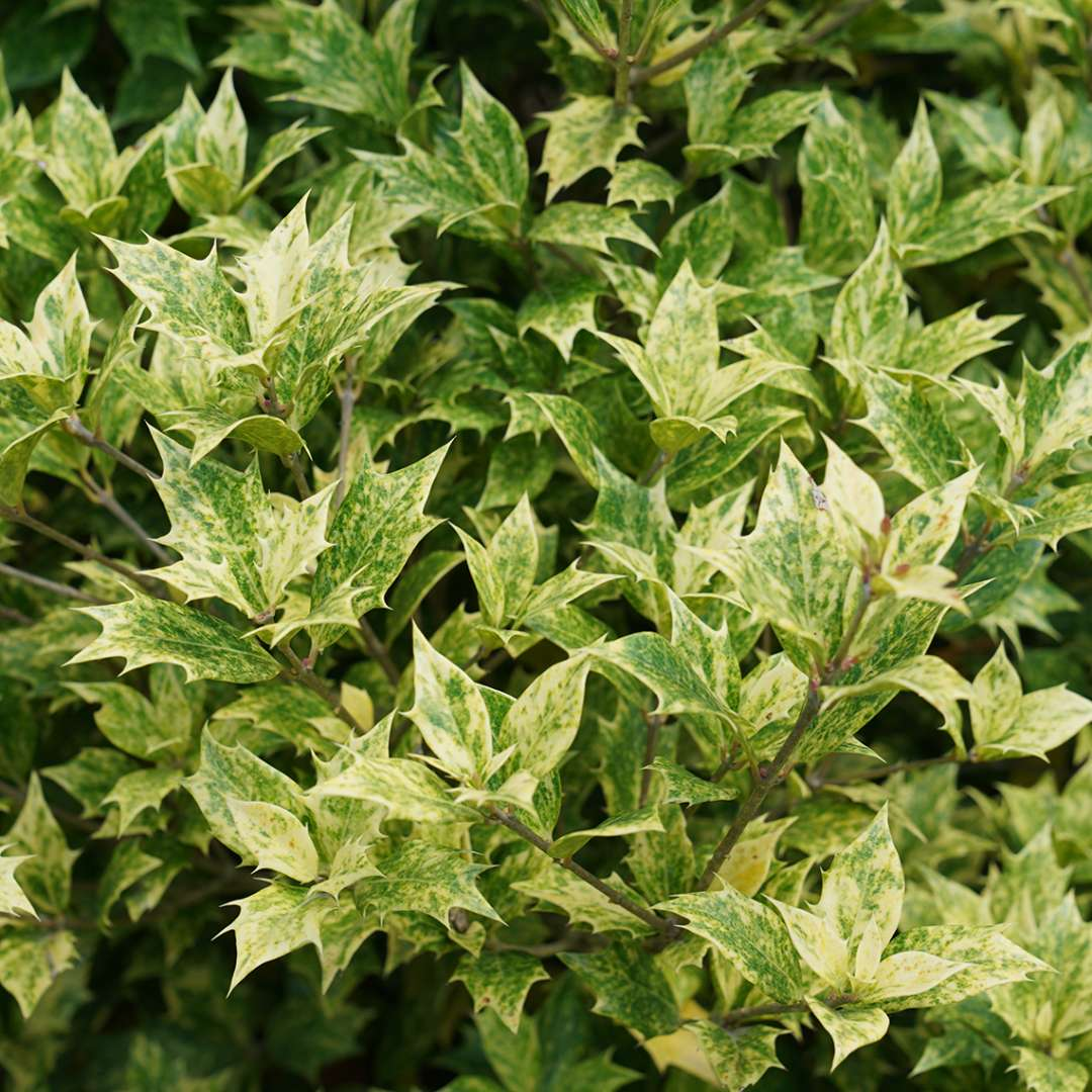 Close up of green and yellow Goshiki Osmanthus foliage