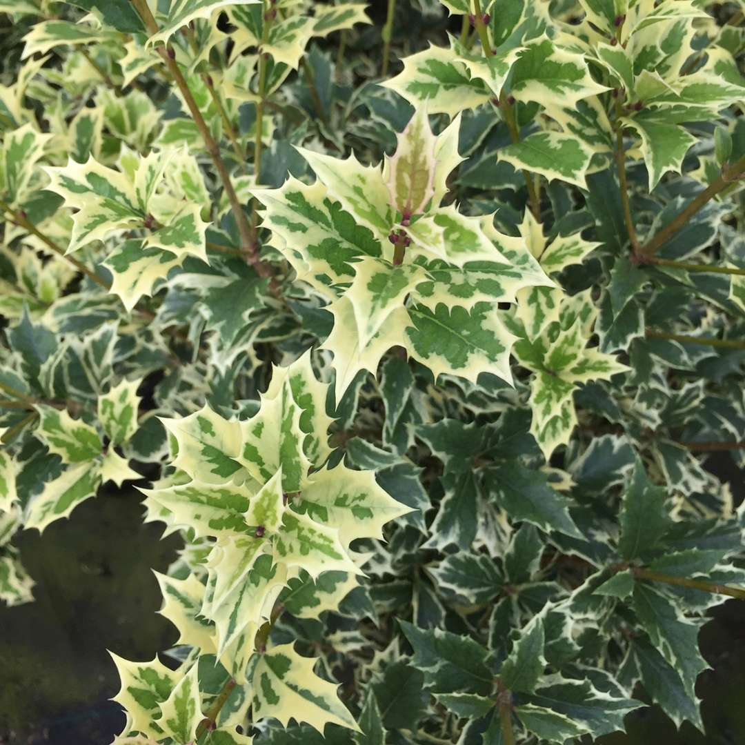 Close up of variegated Variegatus Osmanthus foliage