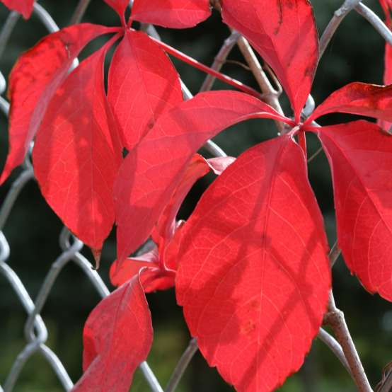 Close up of vibrant red Red Wall Parthenocissus foliage on chain link fence