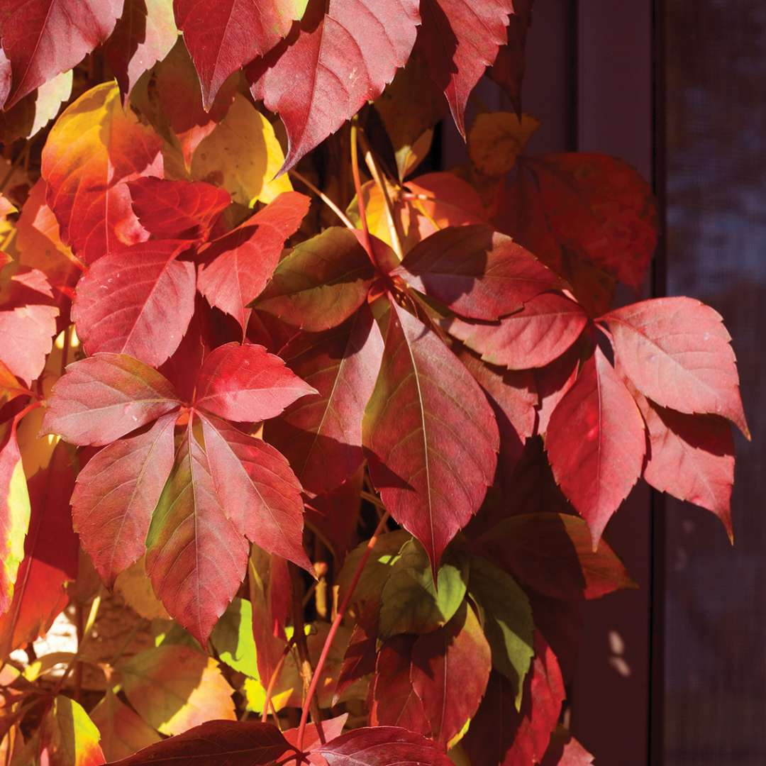 Close up of red and yellow Red Wall Parthenocissus foliage