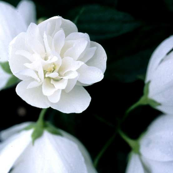 Close up of white Snow Dwarf Philadelphus bloom