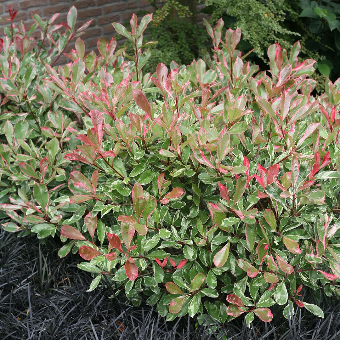 Variegated Pink Marble Photinia Planted With Ophiopogon