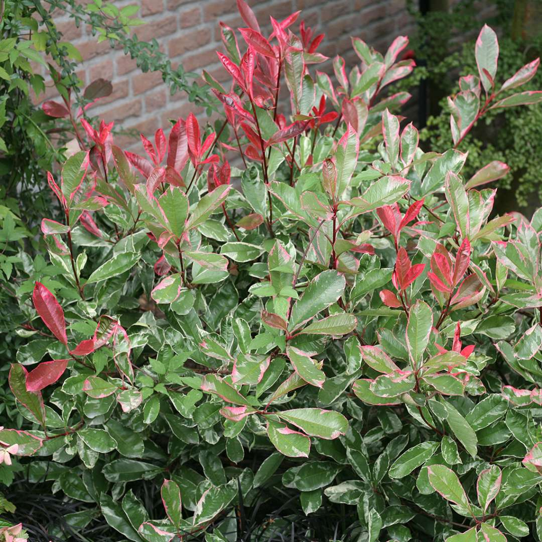 Close Up Of Multicolored Pink Marble Photinia Foliage In Red White And Green