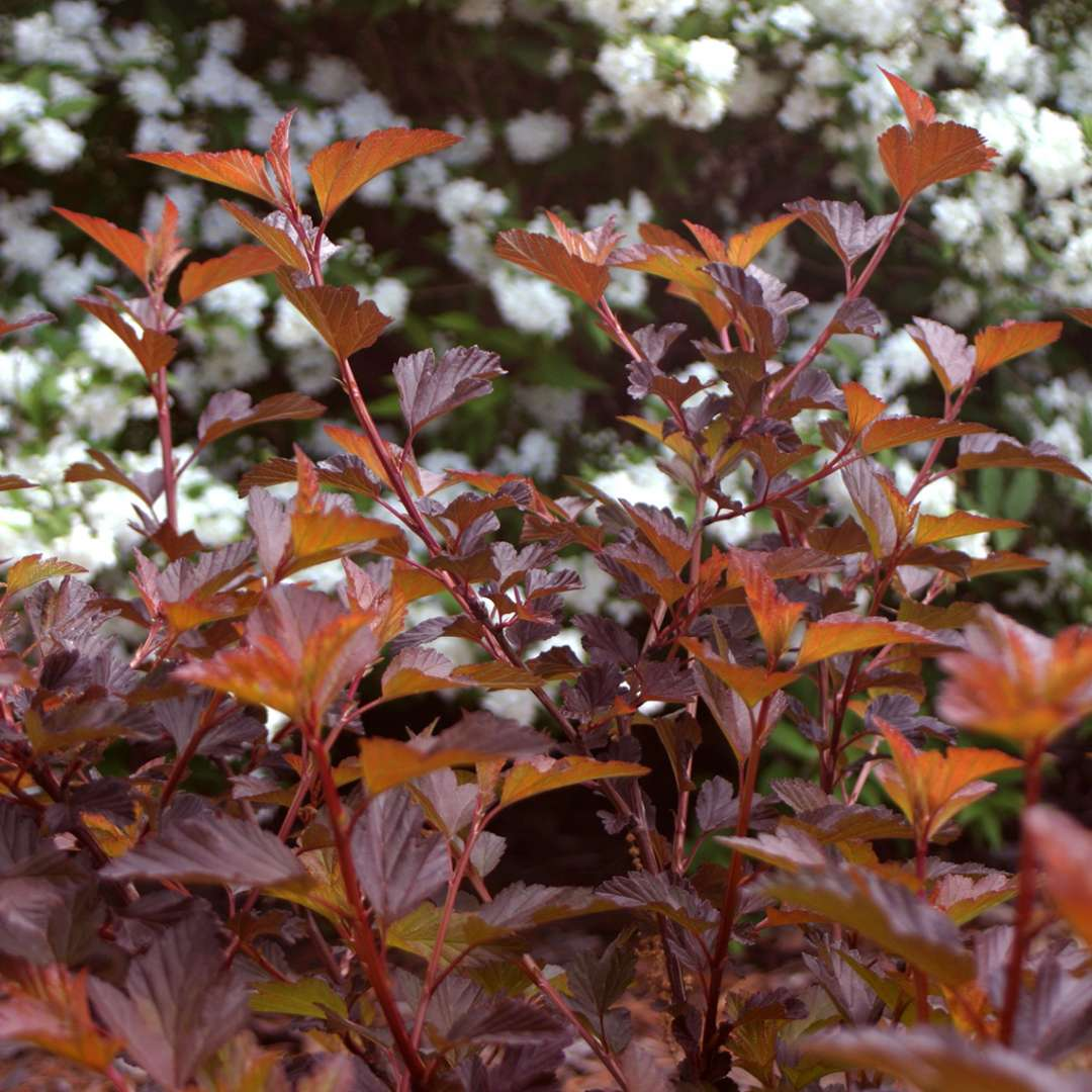 Orange and burgundy Coppertina Physocarpus foliafe in the landscape