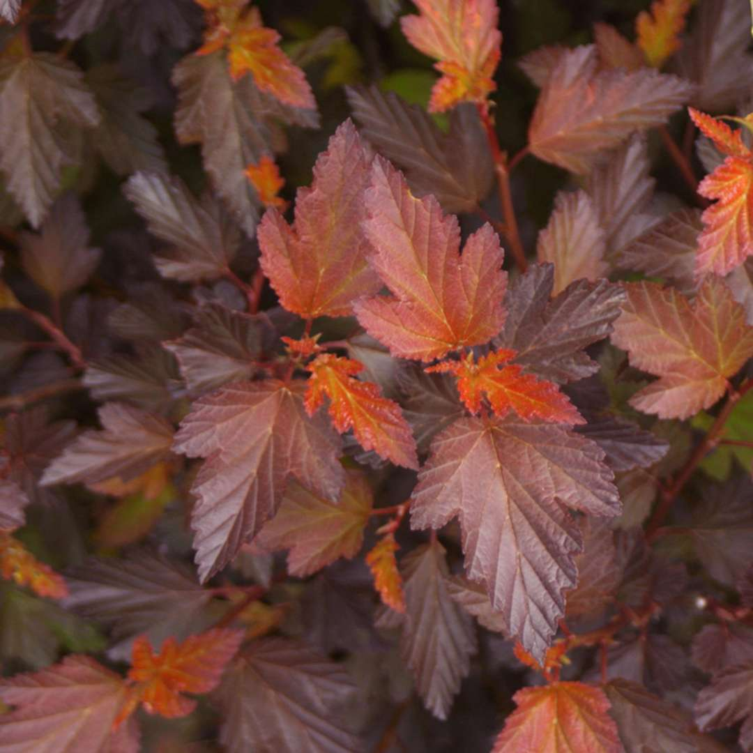Close up of orange and burgundy Coppertina Physocarpus foliage