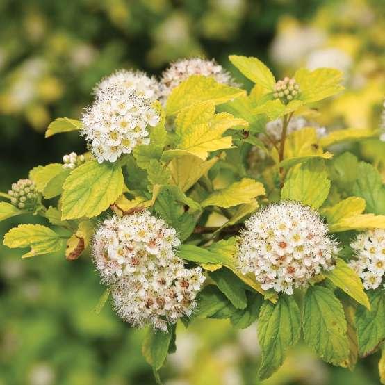 Golden Ticket Ligustrum | Spring Meadow - wholesale liners