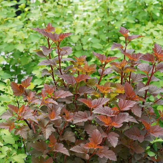 Ginger Wine Physocarpus burgundy and orange foliage in the landscape