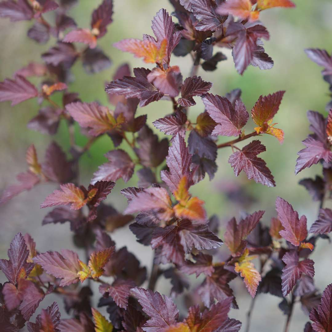 Close up of purple tinted Ginger Wine Physocarpus foliage
