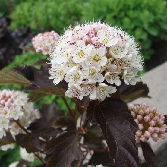 Close up of white Red Robe Physocarpus bloom