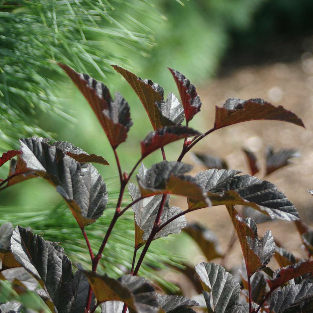 Close up of dark Summer Wine Physocarpus foliage