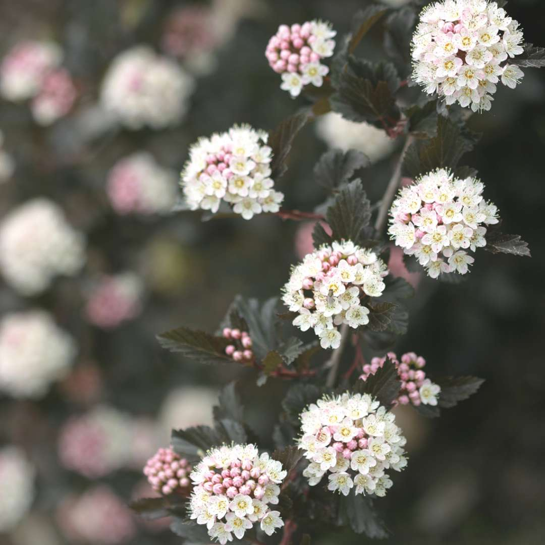 Close up of white and pink Summer Wine Physocarpus blooms