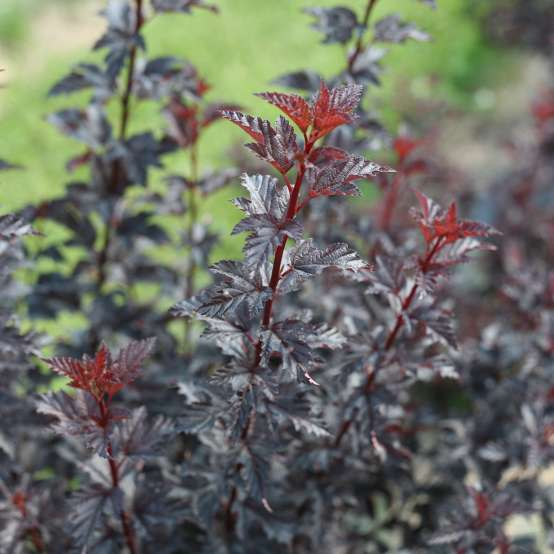 Close up of dark Summer Wine Black Physocarpus foliage