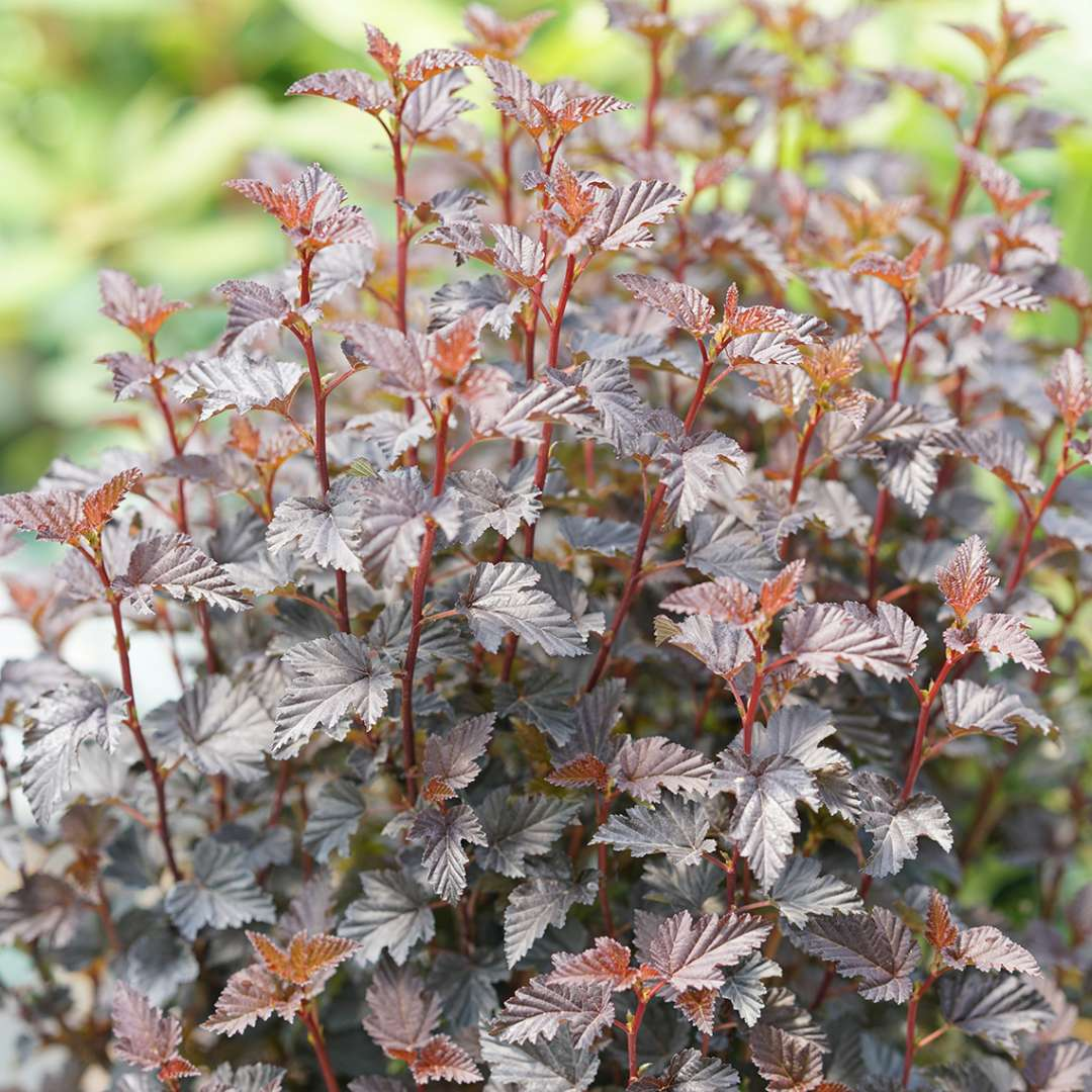 Close up of burgundy Summer Wine Black Physocarpus foliage