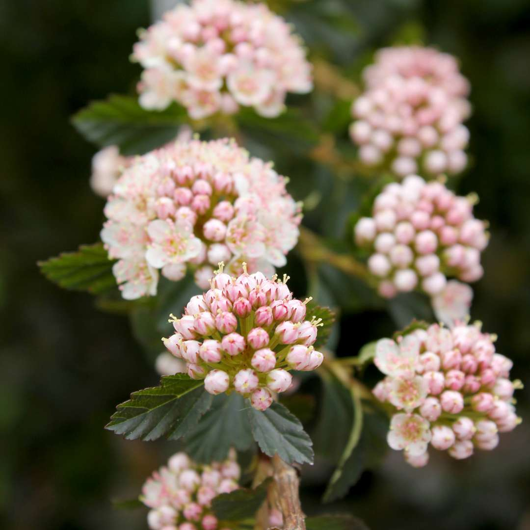 Close up of light pink Tiny Wine Physocarpus blooms
