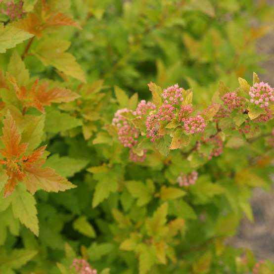 Close up of orange and lime green foliage with pink blooms on Tiny Wine Gold Physocarpus