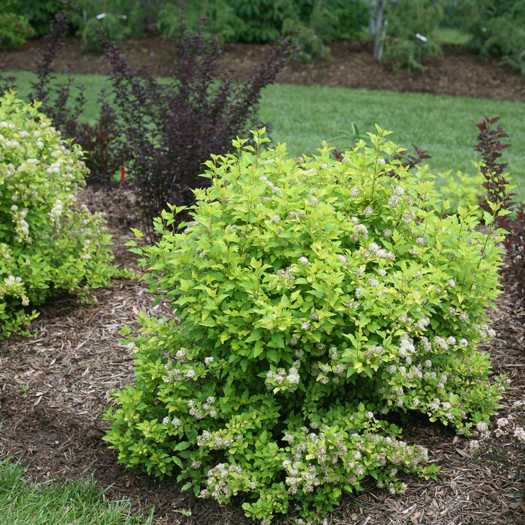 Tiny Wine Gold Physocarpus in landscape bed