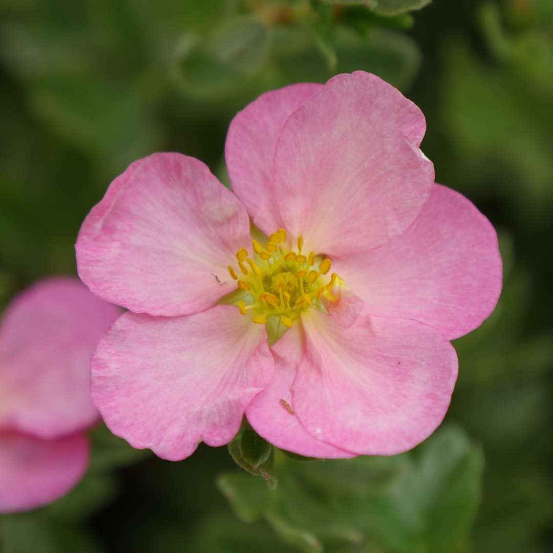 Close up of pale pink Happy Face Hearts Potentilla flower