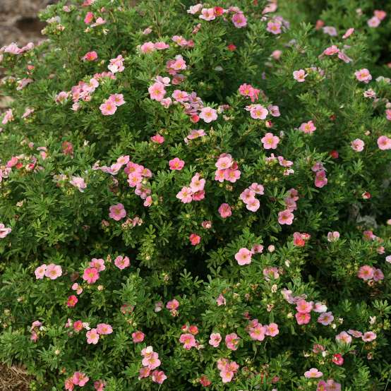 Tightly mounded Happy Face Pink Paradise Potentilla covered with pink blooms